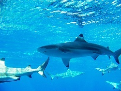 blacktip shark - ss.jpg