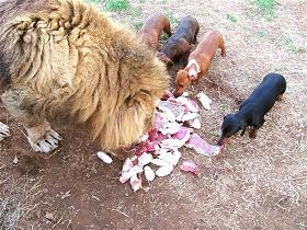 dog lion.png