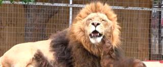 dog lion2 - コピー.png