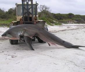 shark 4m.png